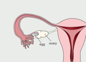 menstrual-cycle-day-14